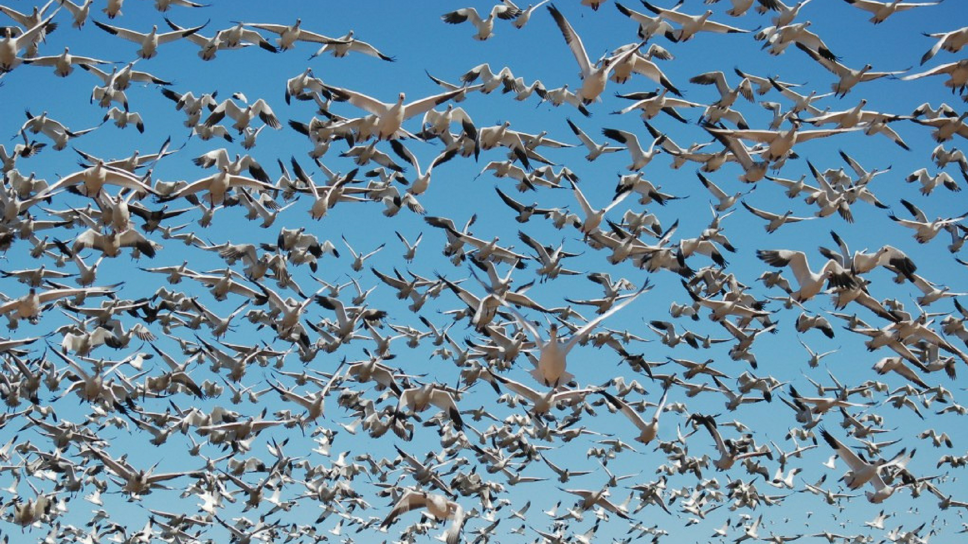 Why Geese Are A Bigger Threat To Planes Than Drones